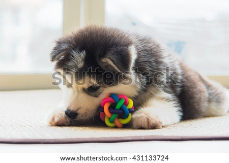 Close up of cute puppy siberian husky playing dog toy on the ground. - stock photo