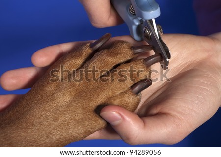 close up of cutting dog nail with specialty tool on blue background - stock photo
