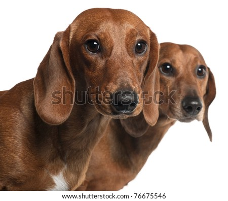 Close-up of Dachshunds, 4 years old and 7 months old, in front of white background - stock photo