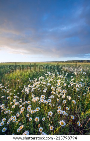 close-up of daisies on summer meadow at sunset  - stock photo