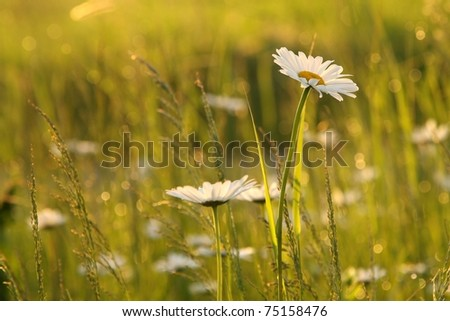 Close-up of daisy in a meadow backlit by the rising sun. - stock photo