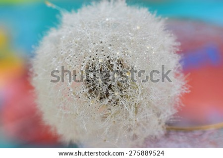 Close up of Dandelion - stock photo