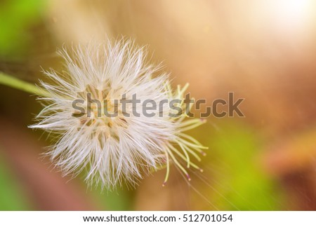 Close up of dandelion and sunlight with blurred background