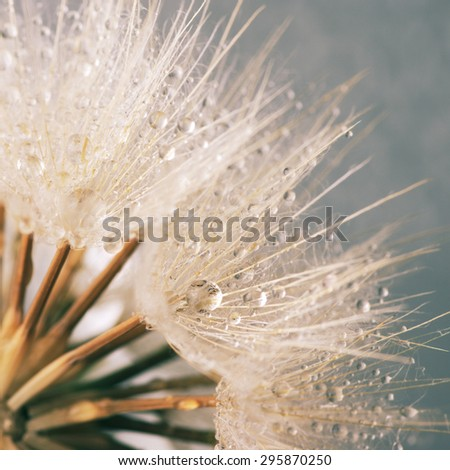 Close-up of dandelion (goatsbeard) with water drops. Toned image. Soft focus, shallow DOF. - stock photo