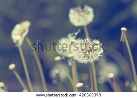 close up of Dandelion on background green grass with shallow focus, spring abstract color - stock photo