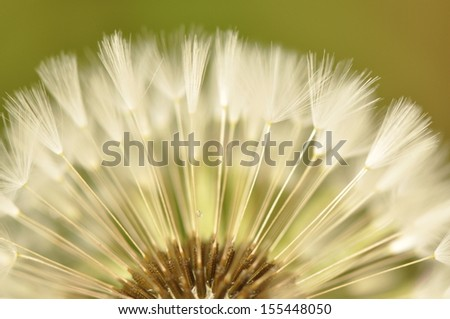 close up of dandelion seed - stock photo