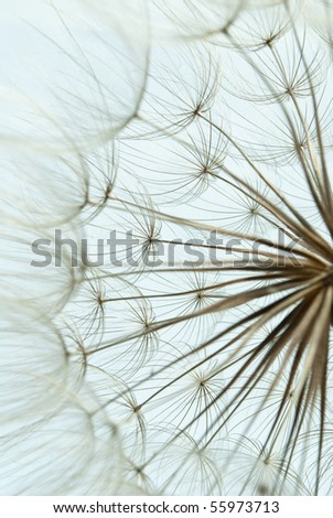 Close-up of dandelion seed