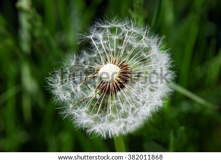 Close-up of dandelion seed on green background  - stock photo