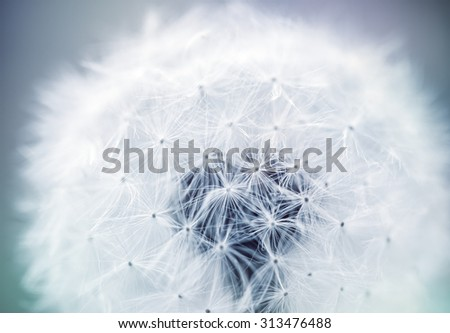 close up of Dandelion seeds with subtle creative coloring and shallow focus - stock photo