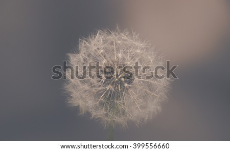 close up of Dandelion with abstract color and shallow focus - stock photo