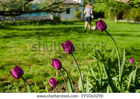 close up of dark pink garden tulip and woman silhouette cutting grass mower  - stock photo