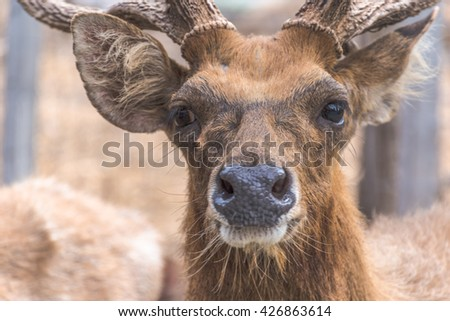 Close up of Deer face , soft focus