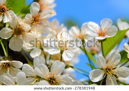Close Up of Delicate White Summer Blossoms with Pink and Yellow Centers in Abundant Bloom - stock photo