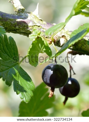 Close up of deliciously sweet, ripe black gooseberries growing on the bush (Ribes grossularia black cultivar).  - stock photo