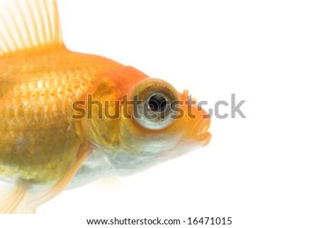 Close-up of demekin goldfish against white background. - stock photo