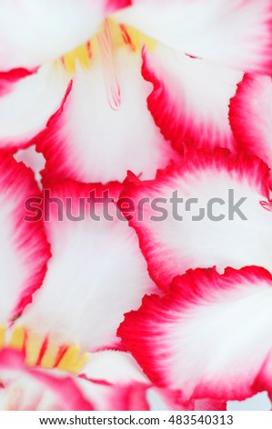 Close-Up of Desert Roses Isolated on White Background