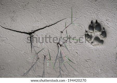 close up of dog  track on mud - stock photo
