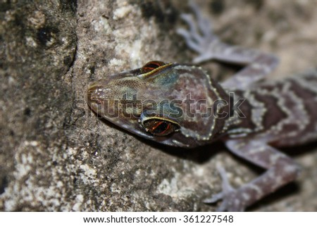 Close up of Doi Inthanon Bent toed Gecko (Cyrtodactylus inthanon)