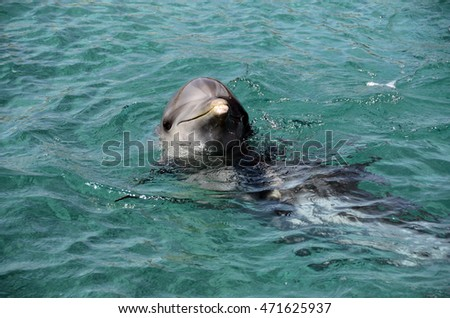 Close up of dolphins swimming in Dolphins in Caribbean Sea water