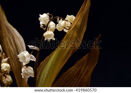 Close up of Dry and old lily of valley flower - stock photo