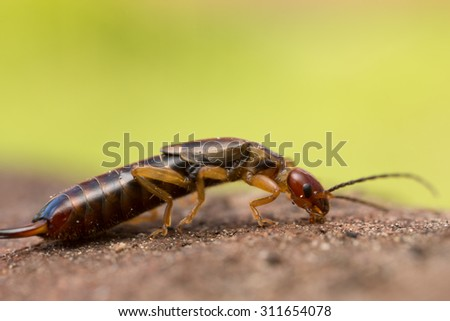 Close up of earwig on wood, copy space in the photo