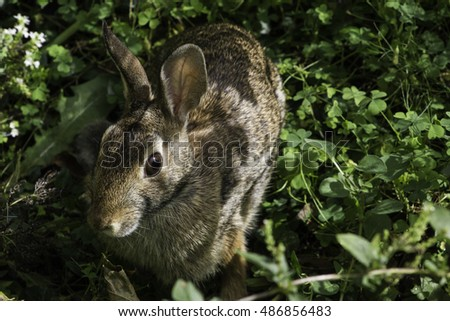 Close up of Eastern Cottontail Rabbit in the Shade