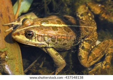 close up of edible frog standing in shallow water ( Pelophylax kl. esculentus ) - stock photo