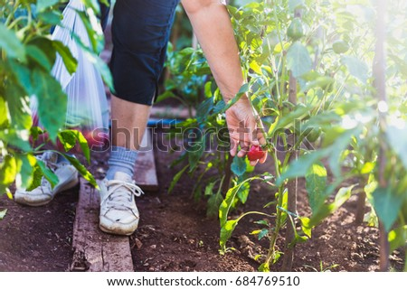 Close up of elderly woman picking pelati tomato. Healthy eating. Gardening and agriculture concept.