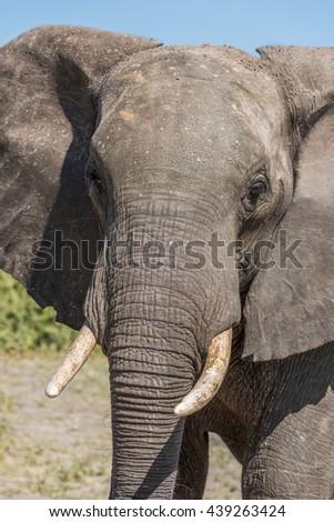 Close-up of elephant facing camera in sunshine - stock photo
