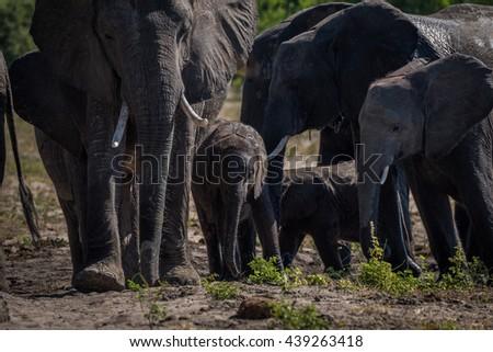Close-up of elephant herd walking towards camera - stock photo