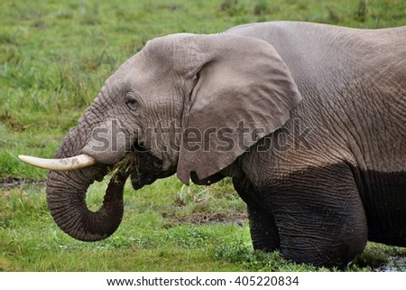 Close-up of elephant in swamp in Amboseli National Park, Kenya - stock photo