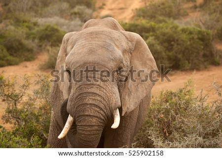 Close up of elephant with herd at a watering hole in the Addo National Park, Eastern Cape, South Africa