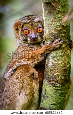 Close up of endangered Woolly Lemur clinging to tree in his natural habitat. With his beautiful eyes looking at camera. Saha Forest Camp, Madagascar