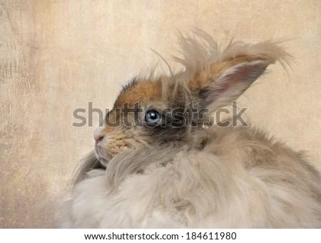 Close-up of English Angora rabbit - stock photo
