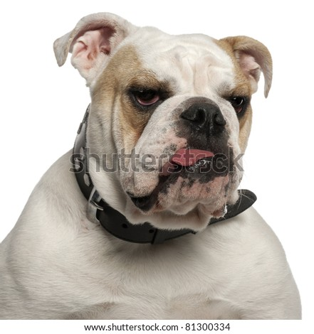 Close-up of English Bulldog, 1 year old, in front of white background - stock photo