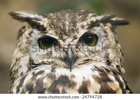 Close up of Ethiopian Eagle Owl (Bubo Capensis Dillonii)