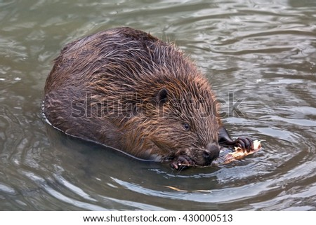 Close-up of Eurasian beaver (Castor fiber)