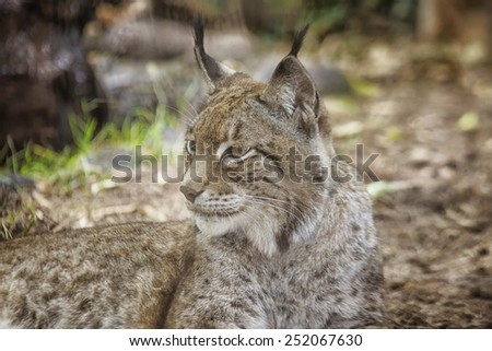 Close up of Eurasian lynx   - stock photo