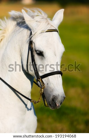 Close-up of face of purebred white horse. Taken outside on a sunny day.