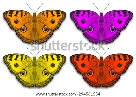 Close up of fancy color Peacock Pansy (Junonia almana) butterflies, isolated on white background with clipping path - stock photo