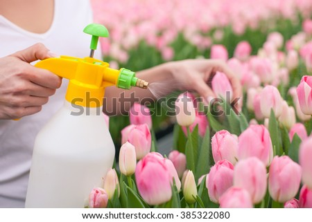 Close up of female arms watering pink tulips. The florist is standing in a plant nursery and holding a sprinkler - stock photo