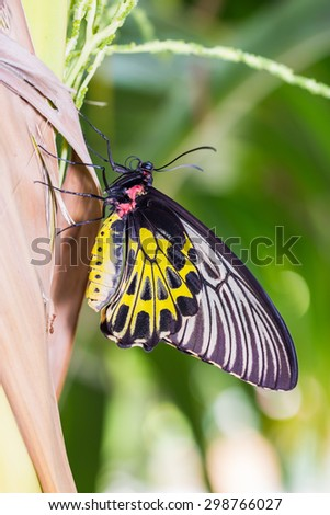 Close up of female golden birdwing (Troides aeacus) butterfly clinging on palm tree in nature