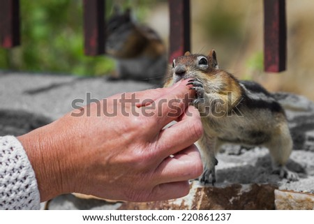 close up of female hands feeding nuts to a wild chipmunk