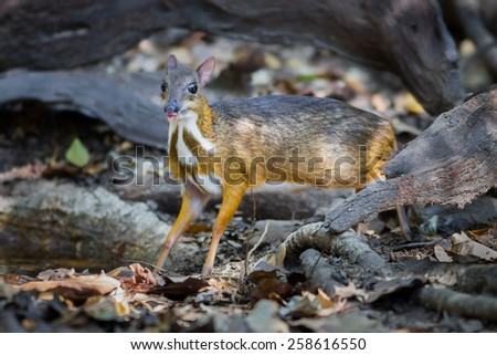 Close up of female Lesser Mouse Deer (Tragulus javanicus) in nature at Kaengkrajarn national park,Thailand - stock photo