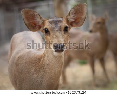 Close-up of female rusa deer. - stock photo