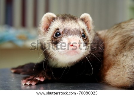 Close-up of ferret on the iron table