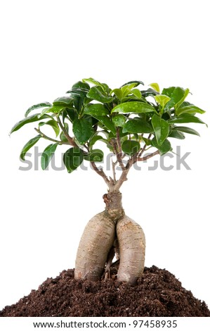 Close-up of ficus retusa with decorative roots - stock photo