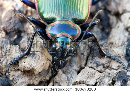 Close up of fiery searcher ground beetle face - stock photo