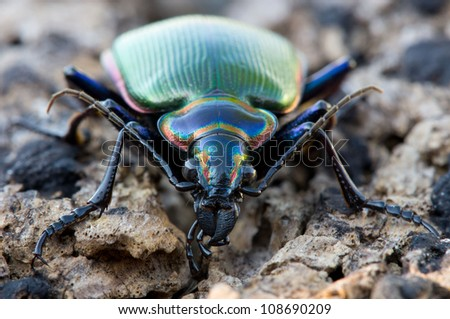 Close up of fiery searcher ground beetle face