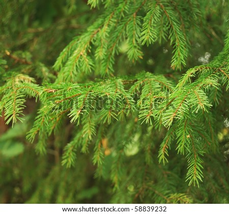 Close-up of fir tree branches - stock photo